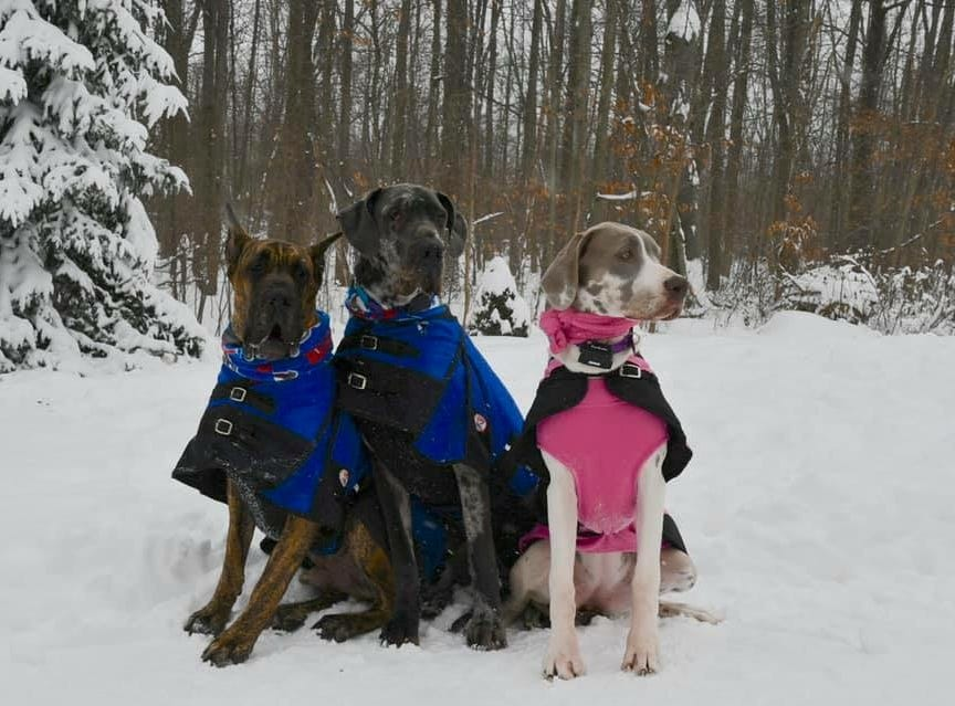 Great Danes Bruce, Wes and Winnie. Photo by Crystal Dobri.