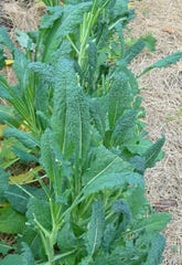 Lancinato kale is one of the easiest vegetables to grow in Treasure Coast gardens. Install it in the traditional veggie garden or in a bed for flowers to add interest and texture to the area.