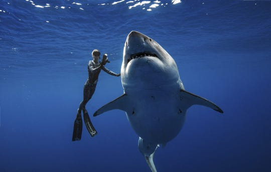 Ocean Ramsey, a shark researcher and advocate, swims with a large great white shark Jan. 15 off the shore of Oahu.