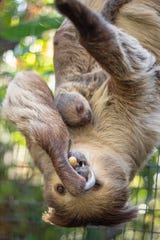 A baby sloth was born at the Brevard Zoo on Friday, Jan. 4, 2019.