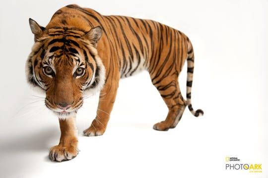 An endangered Malayan tiger (Panthera tigris jacksoni) at Omaha Henry Doorly Zoo.