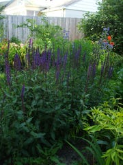"""""""Caradonna"""" salvia has dark purple stems and flowers. Bees burrow into salvia flowers and come out with pollen to make more flowers."""