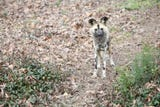 Zoo Knoxville African Painted Dog Swiss delivered a litter of 11 puppies on Jan. 2.