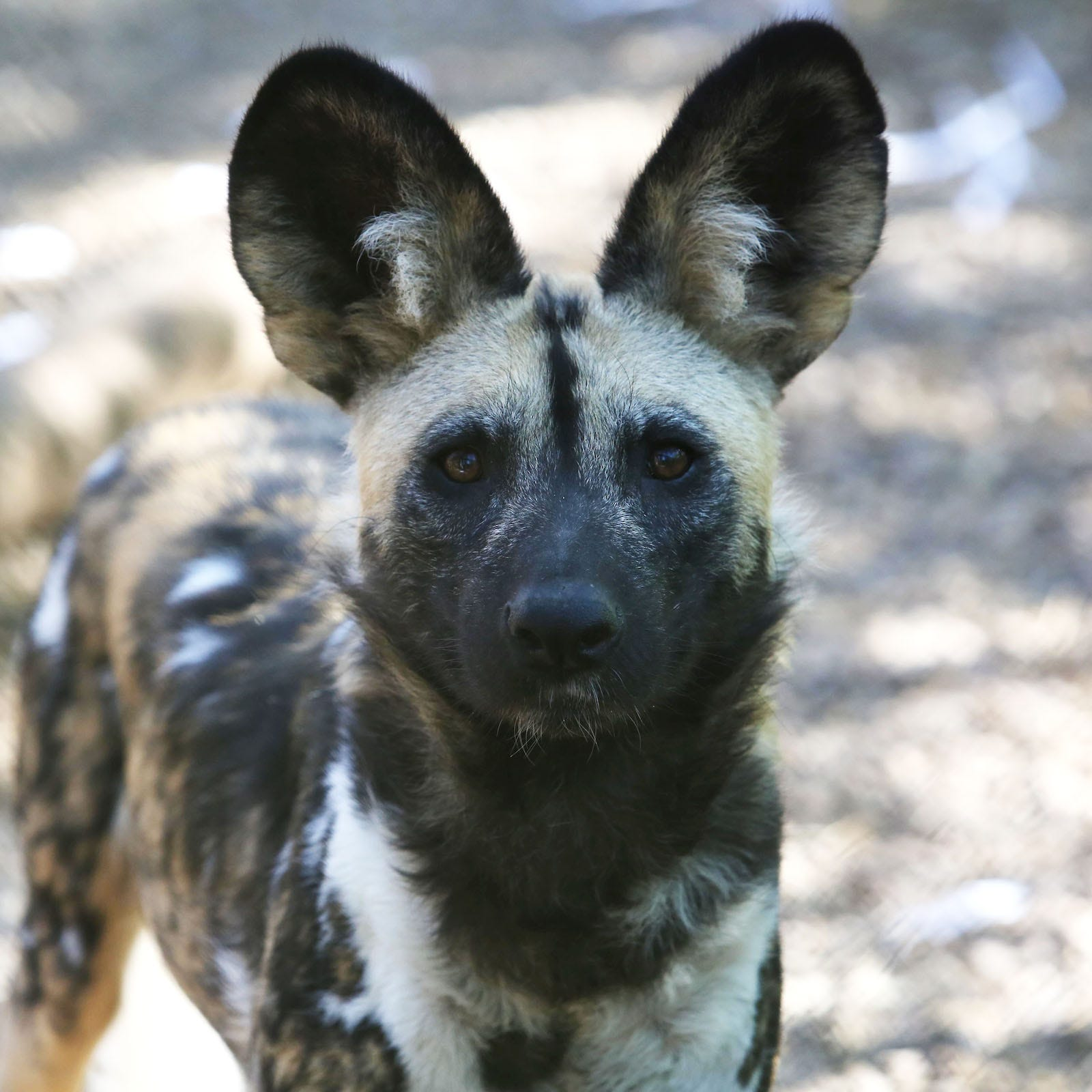 Watch: Zoo Knoxville's endangered African Painted Dog gives birth to litter of 11