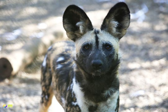 An African Painted Dog poses at Zoo Knoxville.