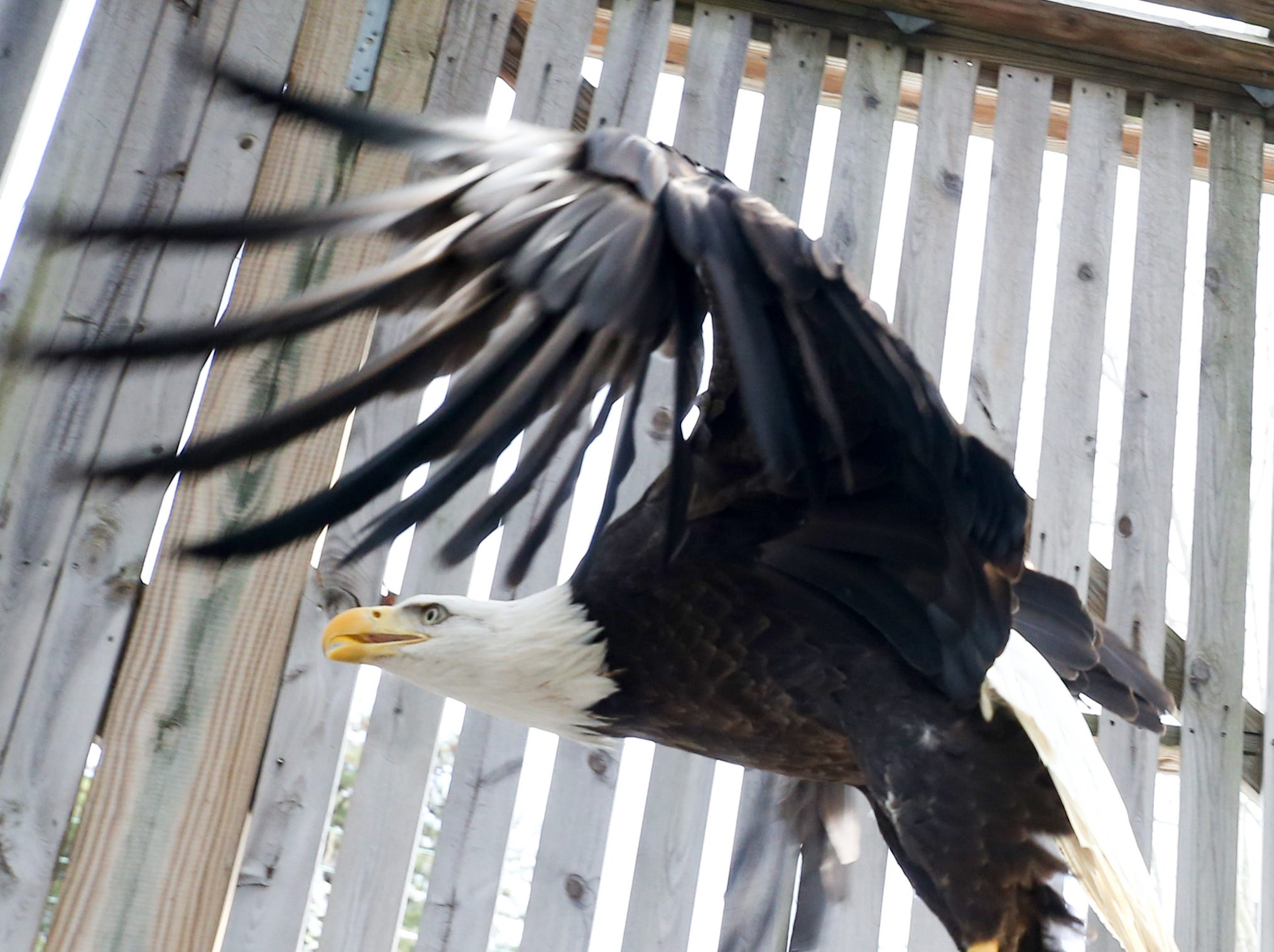 A female eagle at Raptor Rehab flies around her inclosure as crews get ready to catch, transport and release her back into the wild. Jan. 22, 2019