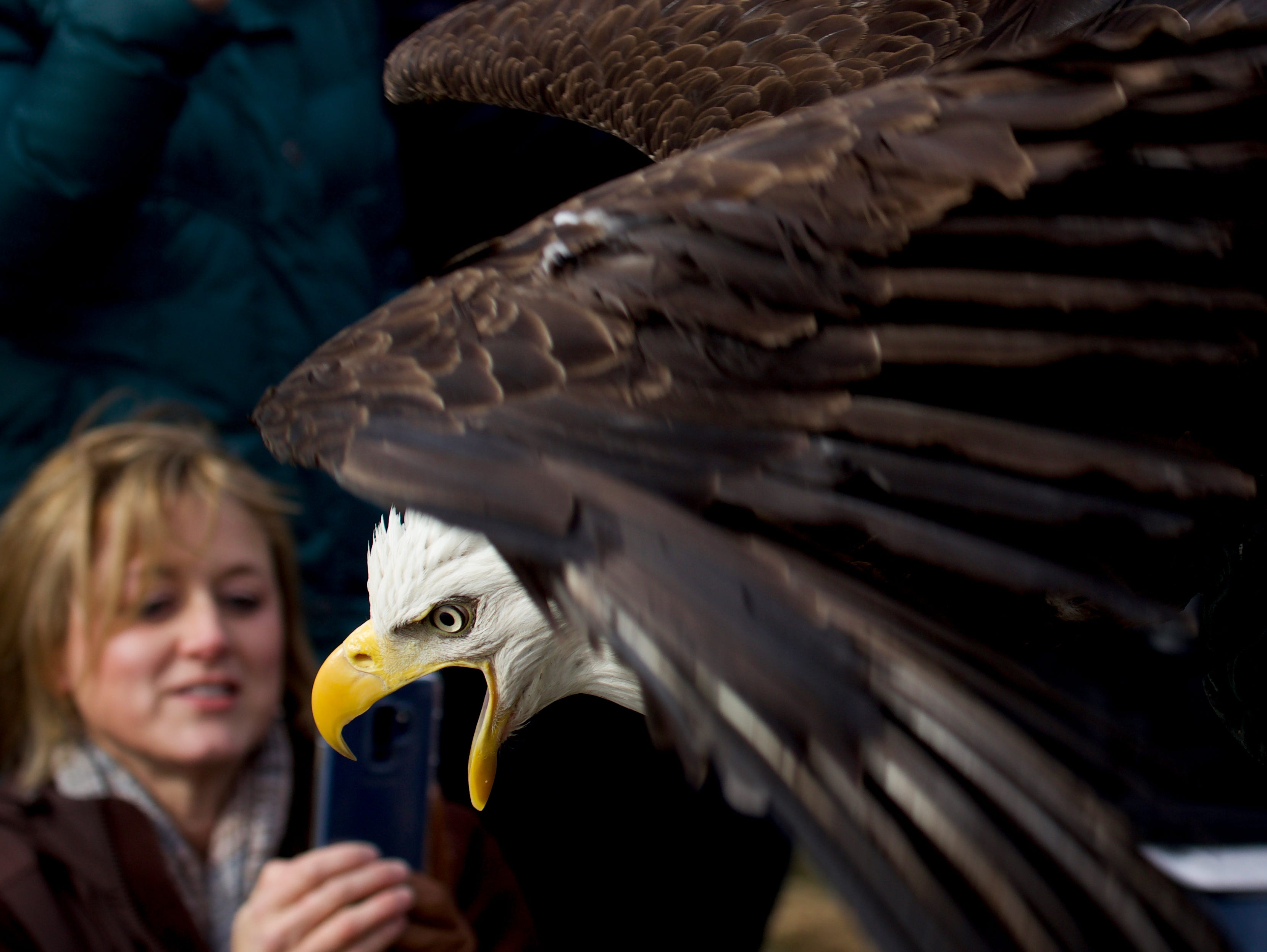 Raptor Rehab releases a female eagle at George Rogers Clark Homesite in Clarksville.  Jan. 22, 2019