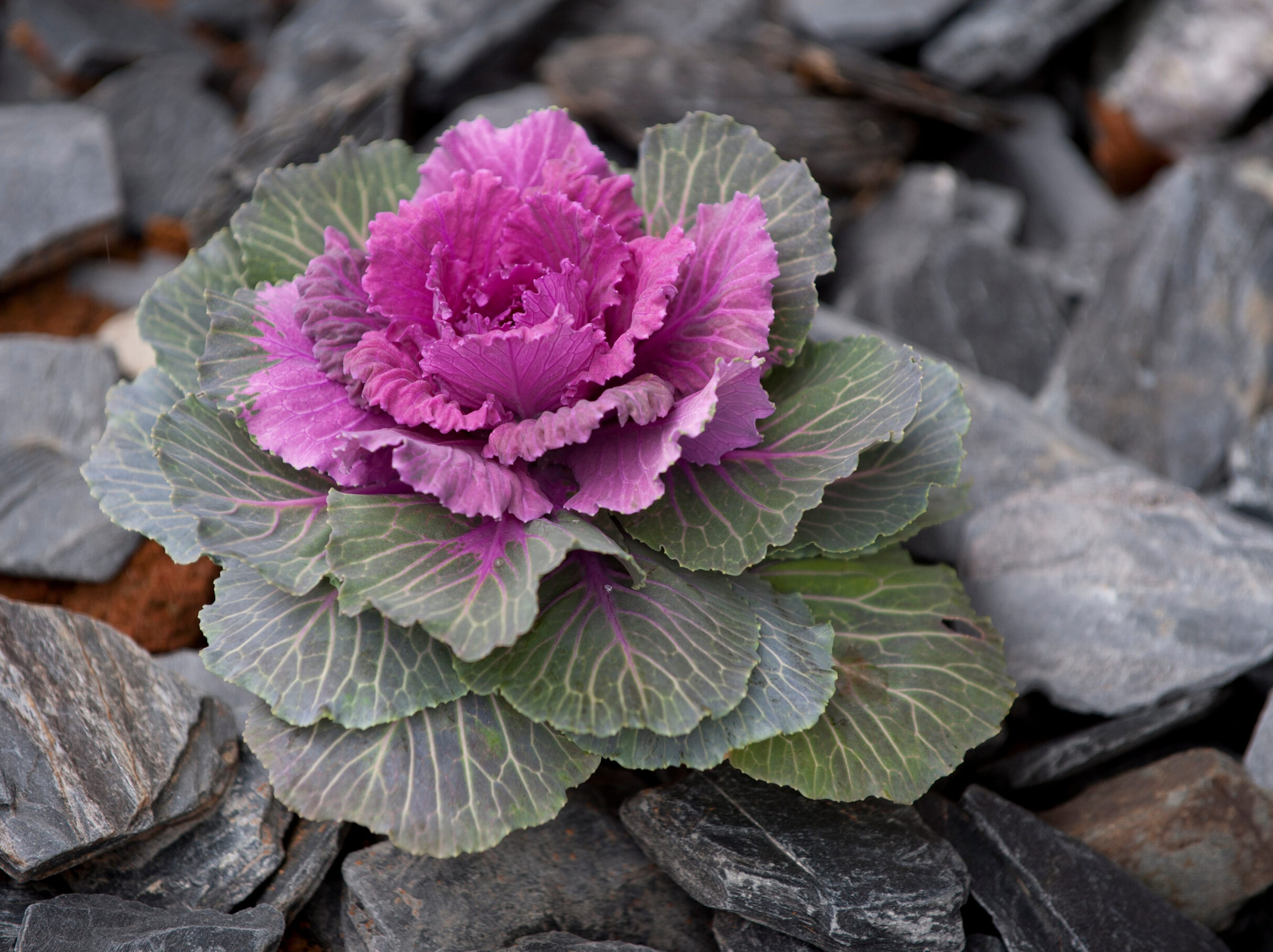 The grounds outside the Bell home are decorated with ornamental cabbage and kale (seen here).