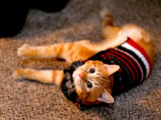 Amanda Miller adopted Bang, an orange male cat who went through surgery and lost a leg after being shot before being adopted. Bang in his new Murfreesboro home, on Friday Jan. 18, 2019.