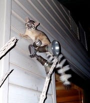 Ray Pawley was as surprised as this ringtail when they encountered each other.