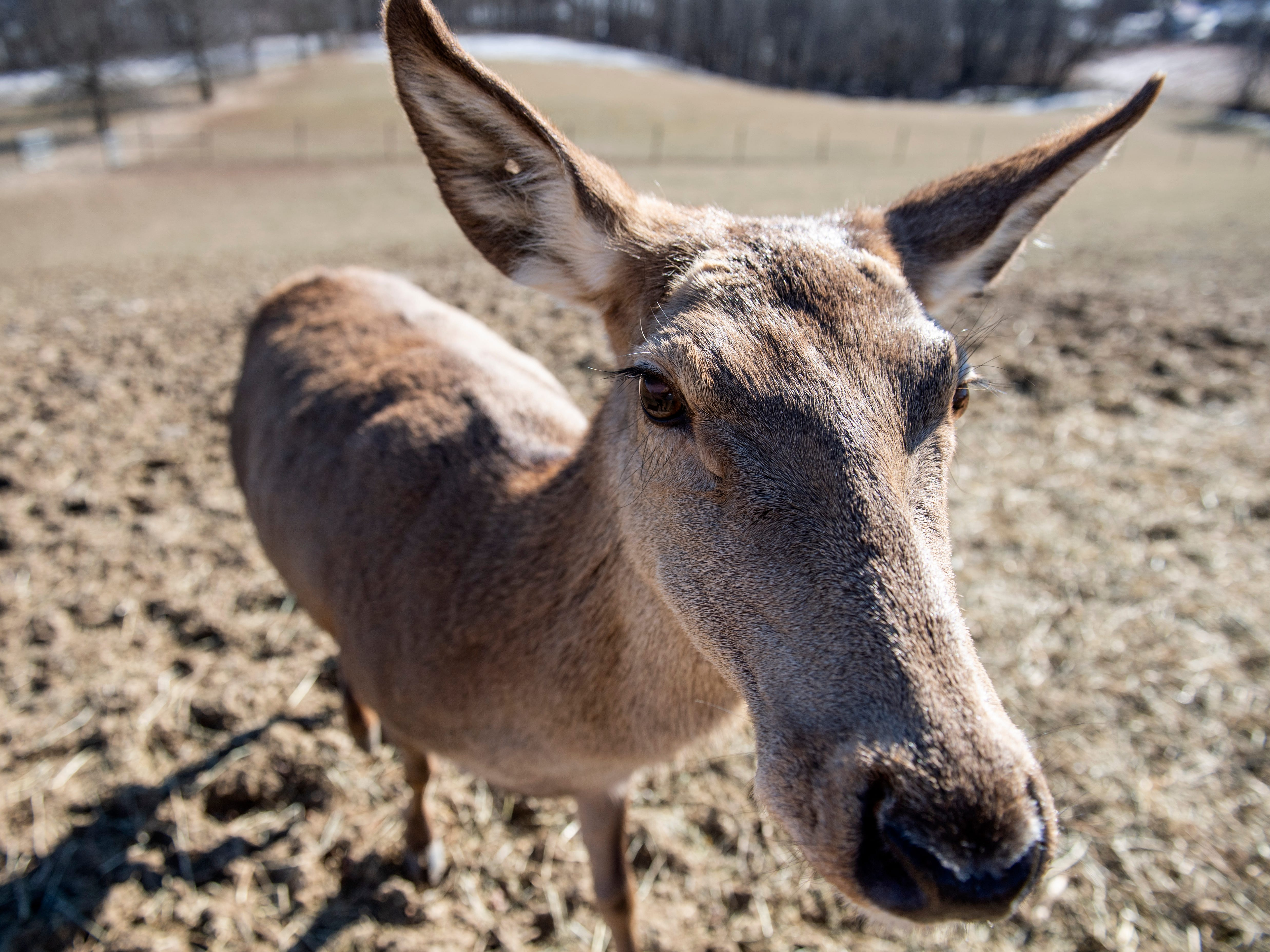 Bambi is practically a pet at Highbourne Farms in Dallastown. She's 14-years old and more than 400 pounds, seen here on Monday, Jan. 21, 2019. Though Highbourne Farms breeds Red deer for meat, Bambi is safe from the shelf. It's one of the few places in the York-area where venison is readily available for purchase year-round.