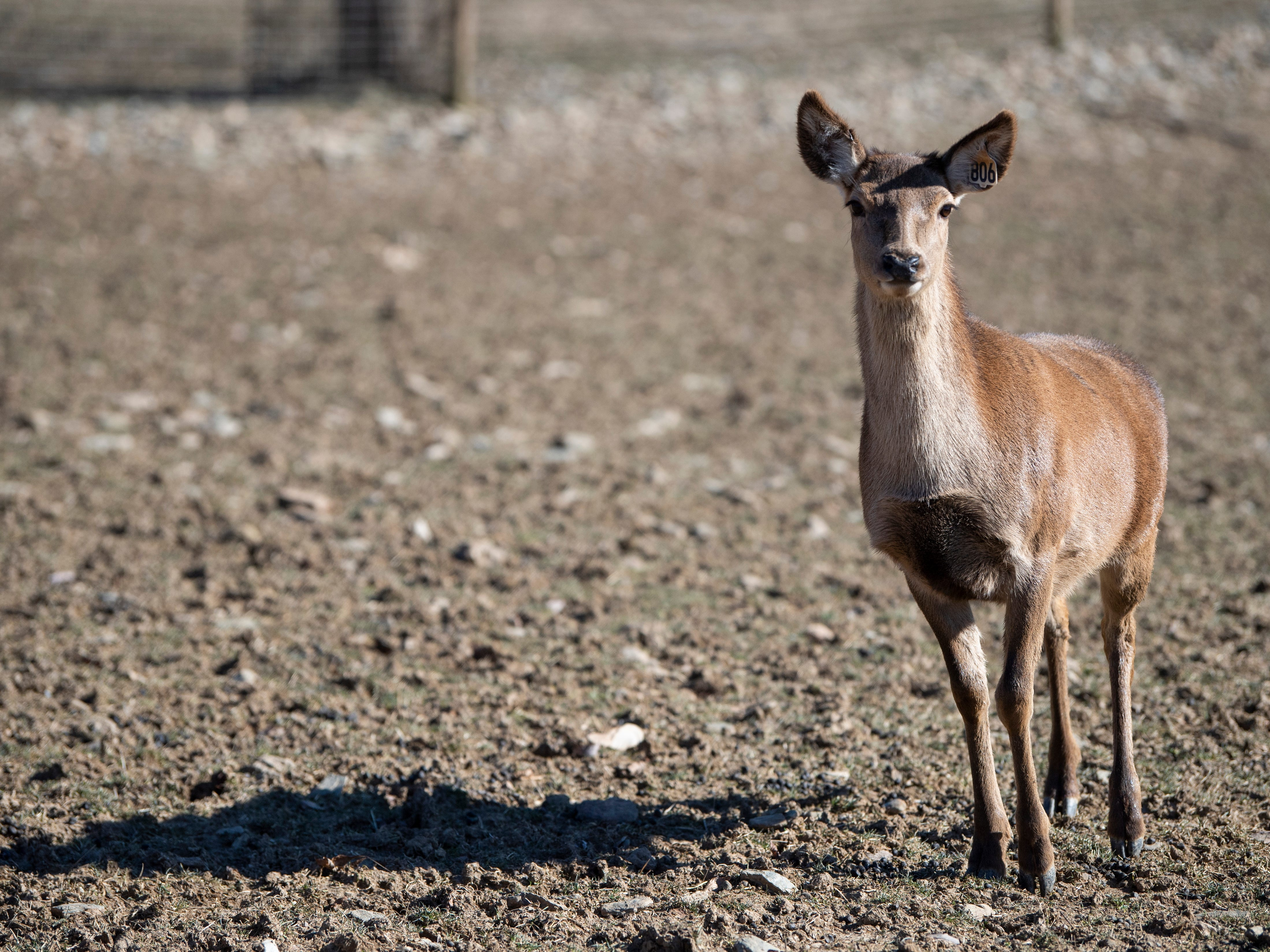 A Red deer, which is usually bigger in size than whitetail, are bred for venison at Highbourne Farms, in Dallastown. It's one of the few places in the York-area where venison is readily available for purchase year-round.