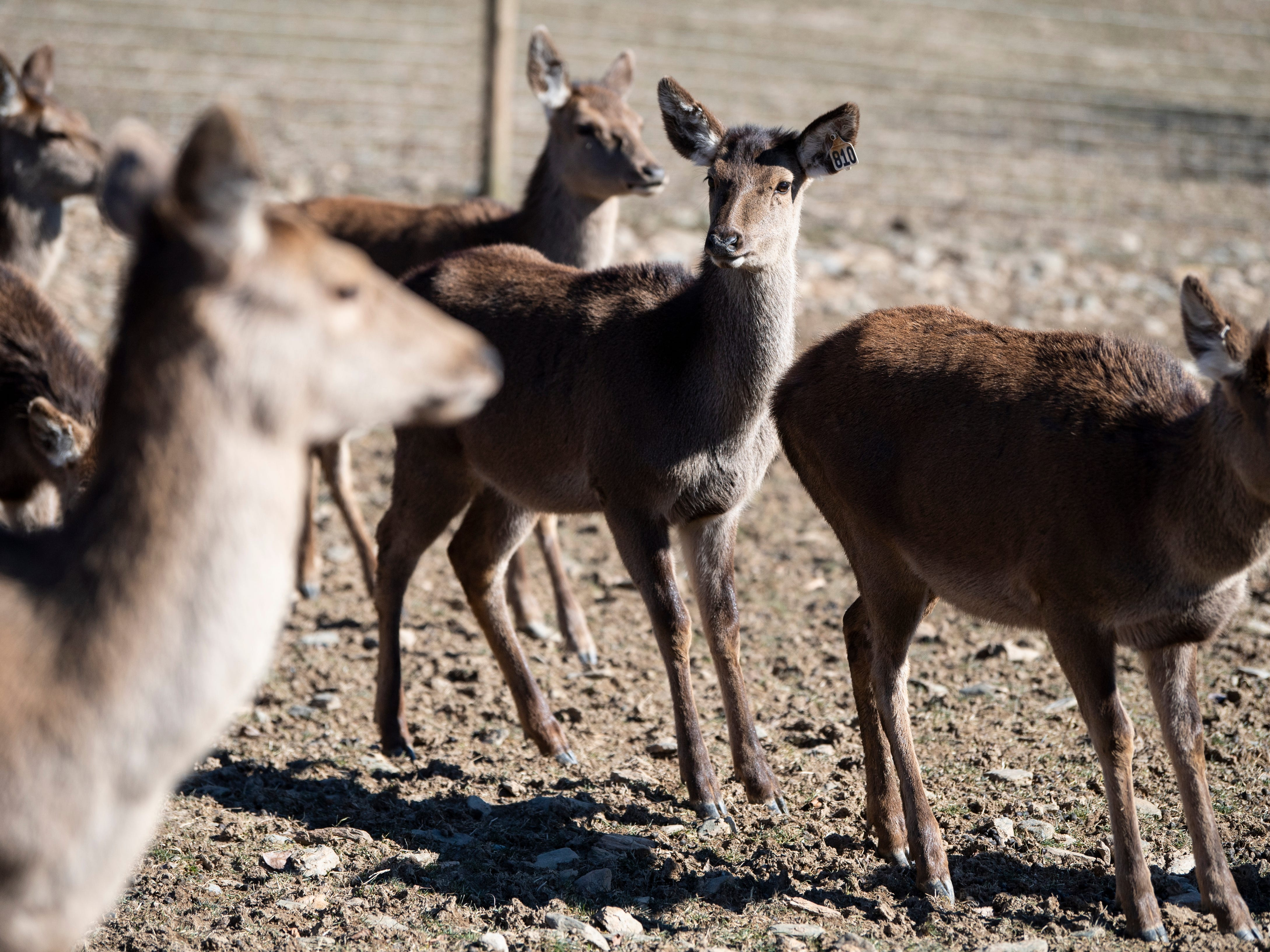 Red deer, bred for venison, meander around the pasture at Highbourne Farms, Monday, Jan. 21, 2019. Highbourne Farms, in Dallastown, breeds Red deer for meat. It's one of the few places in the York-area where venison is readily available for purchase year-round.