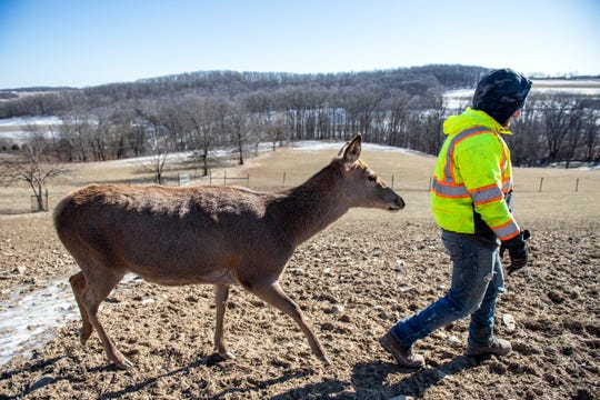 Bambi, a 14-year old, 420-pound Red deer, follows Brandon Bedford, a farmer at Highbourne Farms, through the pasture, Monday, Jan. 21, 2019. Highbourne Farms, in Dallastown, breeds Red deer for meat (but Bambi is safe). It's one of the few places in the York-area where venison is readily available for purchase year-round.
