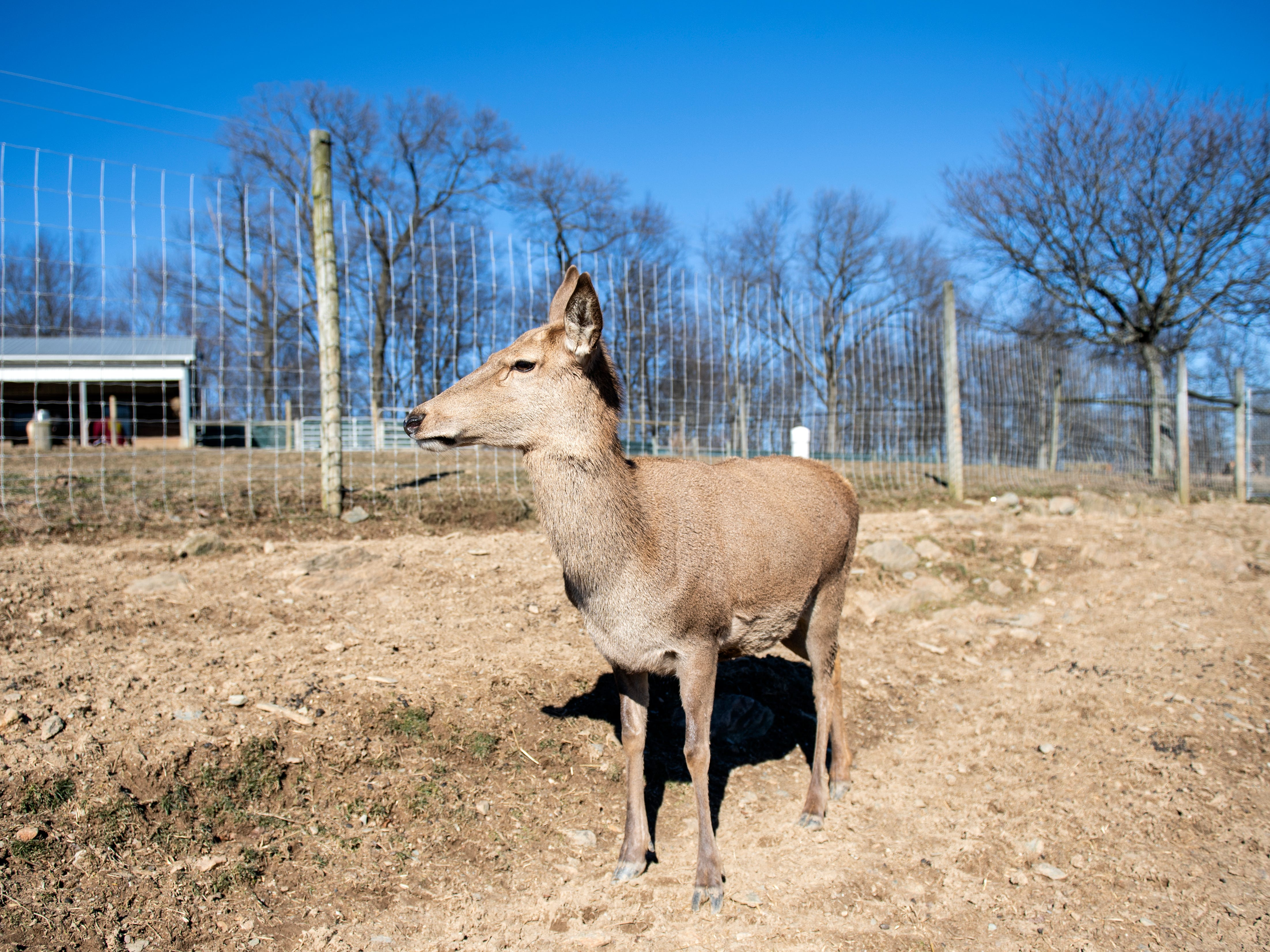 Bambi, a 14-year-old Red deer, is the deer at Highbourne Farms that won't be eaten. Seen here, Monday, Jan. 21, 2019, she's more of a pet than a breeding stock. The last time she was weighed, she was nearly 420-pounds. Highbourne Farms, in Dallastown, breeds Red deer for meat. It's one of the few places in the York-area where venison is readily available for purchase year-round.