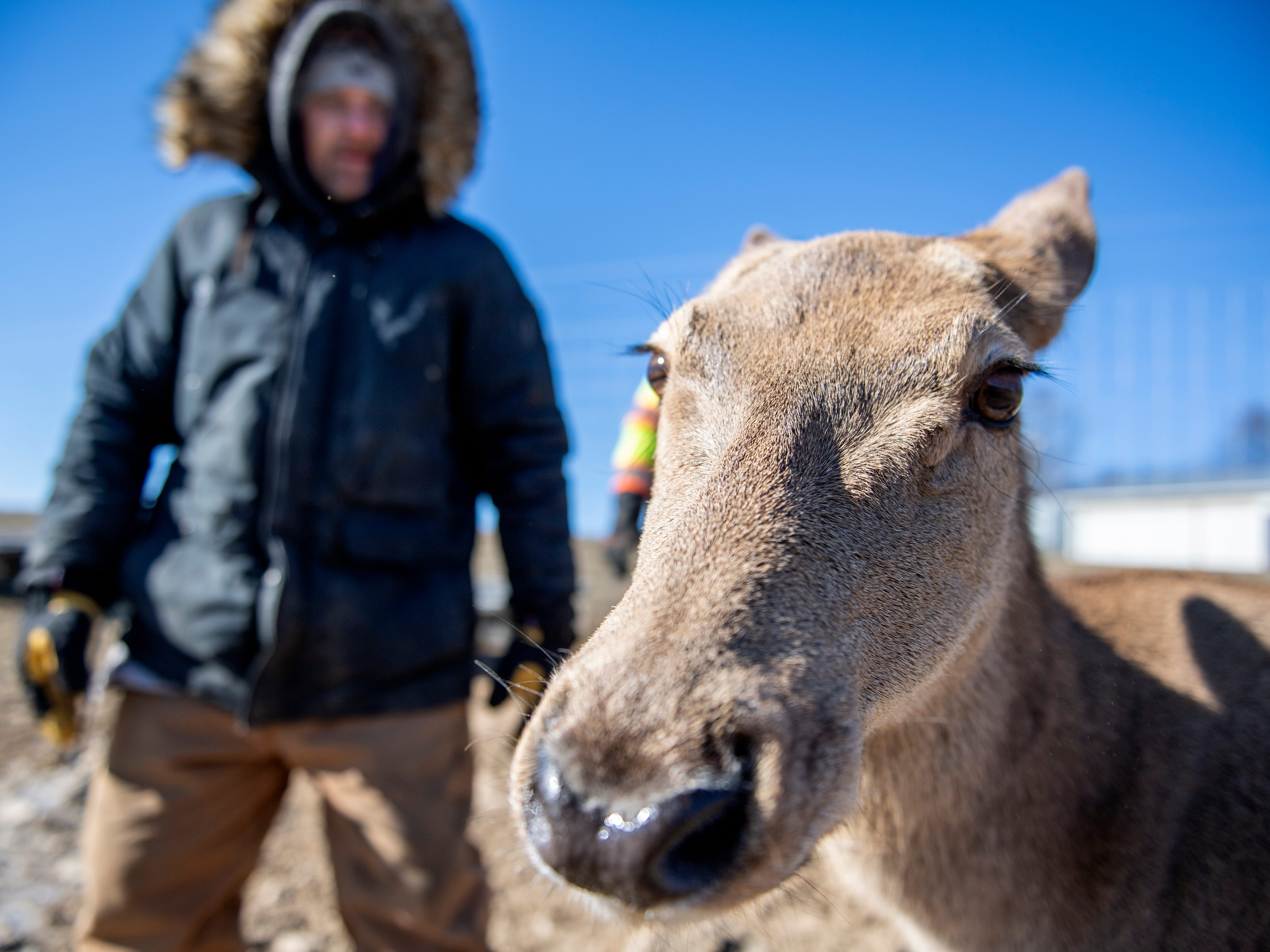 Bambi is a long-time resident at Highbourne Farms, in Dallastown. She's the only Red deer that isn't bred for venison at the farm, one of the few places in the York-area where venison is readily available for purchase year-round.