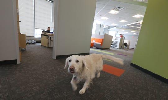 Sadie, a golden retreiver belonging to CEO Victoria Van Voorhis, runs around the office.