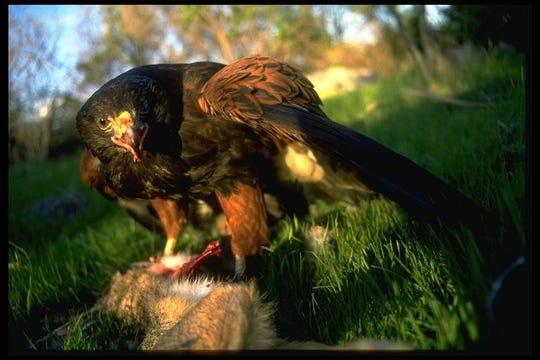 Harris' hawk and prey