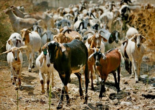 "Nearly 300 goats from a ranch in southern Oregon are led up to consume as much brush as they can in Sycamore Canyon Park in the hills above Claremont, Calif.  The threat of catastrophic wildfires has driven a Northern California town to launch a ""Goat Fund Me"" campaign to bring herds of goats to city-owned land to help clear brush.  Nevada City in the Sierra Nevada began the online crowdsourcing campaign last Dec. 2018, with the goal of raising $30,000 for the project."