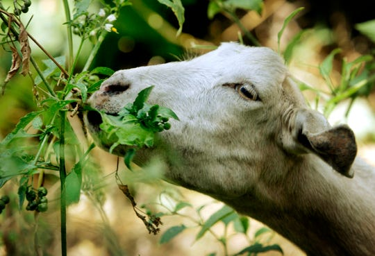 "A goat from a ranch in southern Oregon chews on low-hanging foliage in Sycamore Canyon Park in the hills above Claremont, Calif. The threat of catastrophic wildfires has driven a Northern California town to launch a ""Goat Fund Me"" campaign to bring herds of goats to city-owned land to help clear brush.  Nevada City in the Sierra Nevada began the online crowdsourcing campaign December 2018,  with the goal of raising $30,000 for the project."