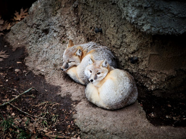 Two swift foxes are now at the Dickerson Park Zoo.