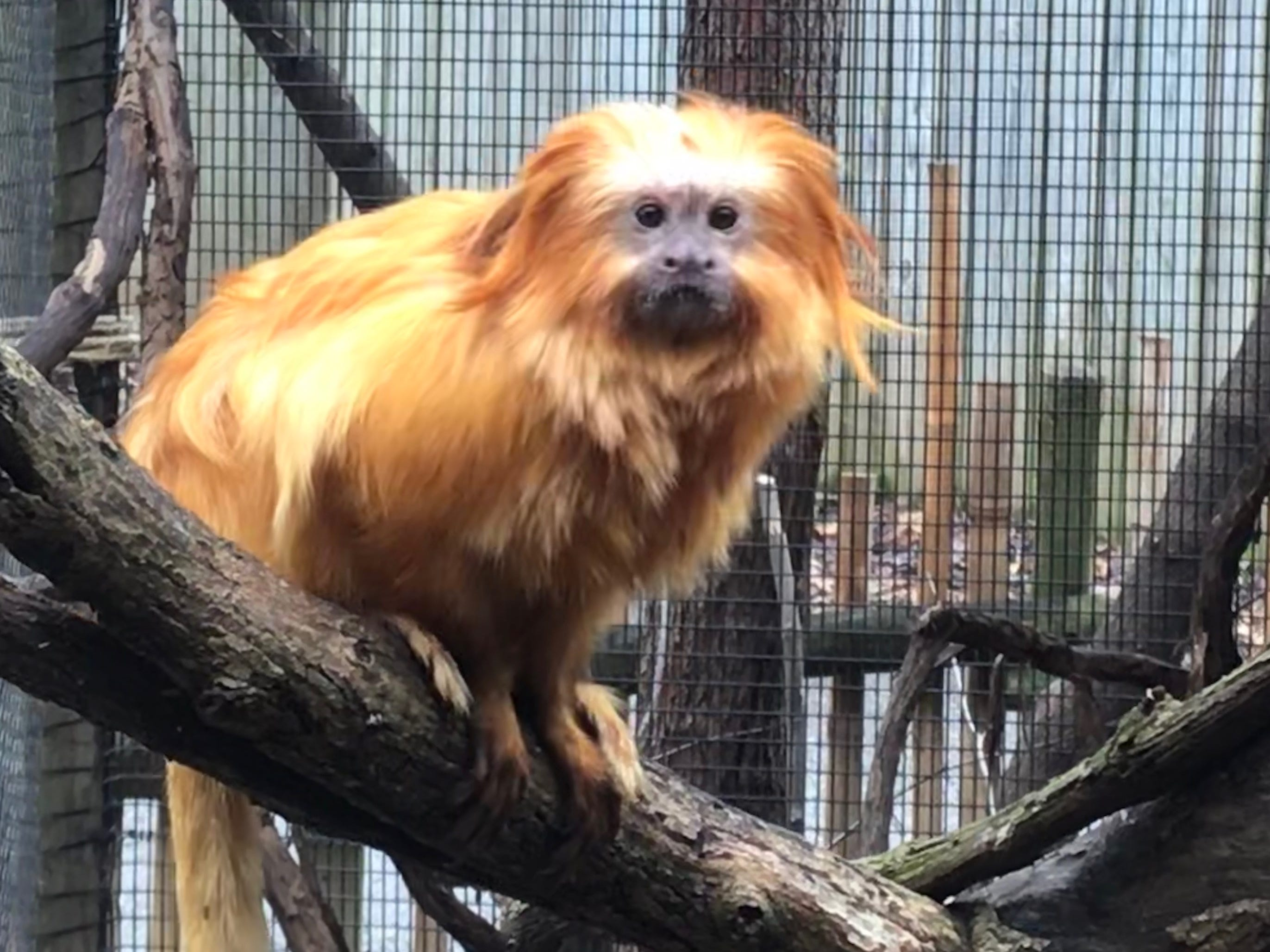 Rio, a golden lion tamarin, recently finished going through quarantine at Dickerson Park Zoo.