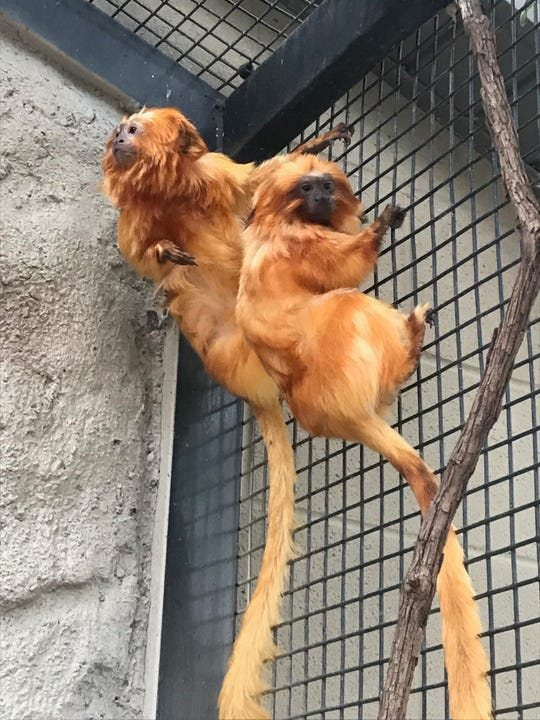 Golden lion tamarins, Rio and Bianca, are now a pair at Dickerson Park Zoo after Rio finished going through quarantine.
