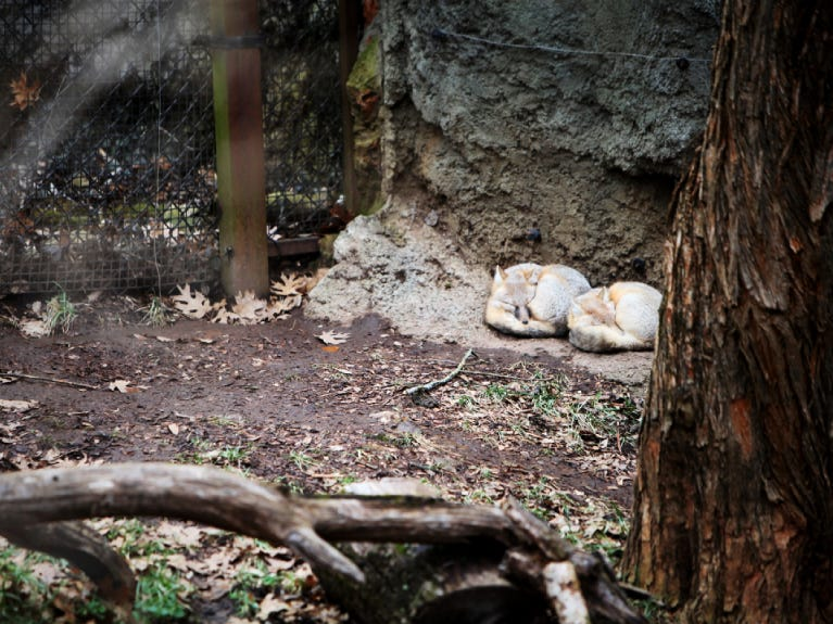Swift foxes, Peggy and Turner, are now at the North America area of Dickerson Park Zoo.