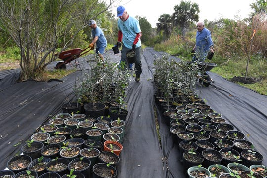 "Pelican Island Audubon Society of Indian River County volunteers (from left) Ricky Ray, of Vero Beach, Terry Greene, of Sebastian, and Vin Gemmiti, of Vero Beach, sort some of the 4,000 live oak seedlings they are growing behind the Audubon House on Oslo Road in Indian River County. ""I really believe in the Audubon vision that Dr. Baker has put together here, in that everything is connected,"" Greene said. ""It's not just about birds, it's the trees, the insects, and this whole food web and food chain, and I really like what we're doing with the oak trees."""
