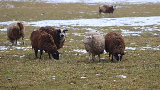 Sheep graze on a farm near The Whip Tavern in West Marlborough Township, Pa.