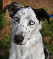 Merle is a 1-year-old male, white and black, Australian shepherd. He is housebroken, neutered, vaccinated and microchipped. Merle is happy outdoors, gets along with other dogs and is available for adoption at the Humane Society of Wichita County.