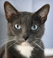 Peppermint is a two-year old female, gray and white, domestic short-haired cat. She has been spayed, vaccinated and microchipped. Peppermint gets along well with other cats, is calm and likes attention. She is available for adoption at the Humane Society of Wichita County.
