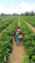 Mary Harris and her son, both committed vegans, pick strawberries together.