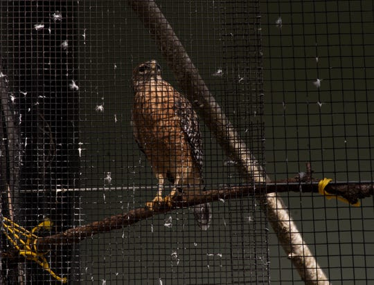 A red shouldered hawk housed at the aviary in looks out from its enclosure on Wednesday 1/23/2019. The aviary at the Calusa Nature Center in Fort Myers in finally finished after several years of delays and problems. A grand opening will be held on Saturday.
