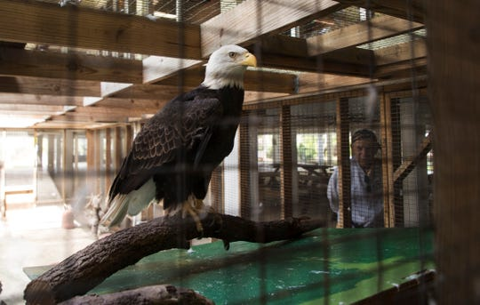 Erica the bald eagle looks out from her enclosure on Wednesday 1/23/2019. The aviary at the Calusa Nature Center in Fort Myers in finally finished after several years of delays and problems. A grand opening will be held on Saturday. She will eventually find a home in the new aviary.
