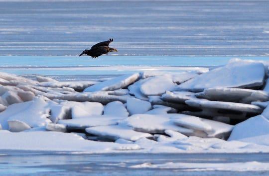 An immature bald eagle cruises over an ice jam on the Missouri River near the 9th Street Bridge Tuesday.