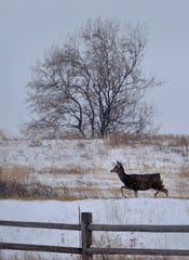 A mule deer walks the snowy hillsides near Giant Springs State Park in Wednesday's snow storm.