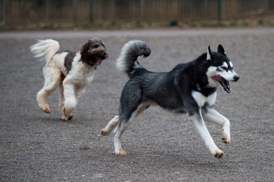 Beau chases Mar, owned by Debbie Adams of Knoxville, and Keller James of Charleston, S.C., respectively, at Concord Dog Park on Wednesday. Even your furry friends will feel the cold when temperatures drop, experts advise.