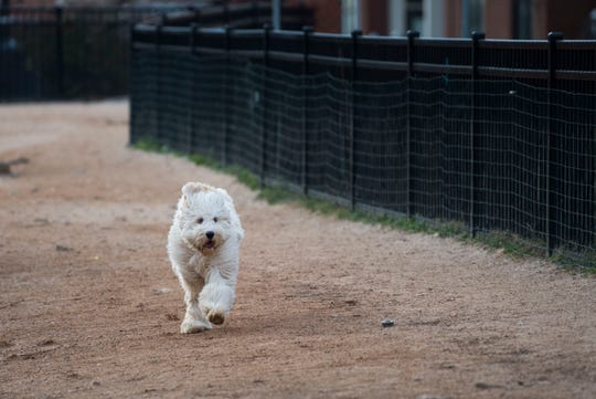 Gibbie, Beth Wayland of Knoxville's dog, runs in the downtown dog park on Wednesday.