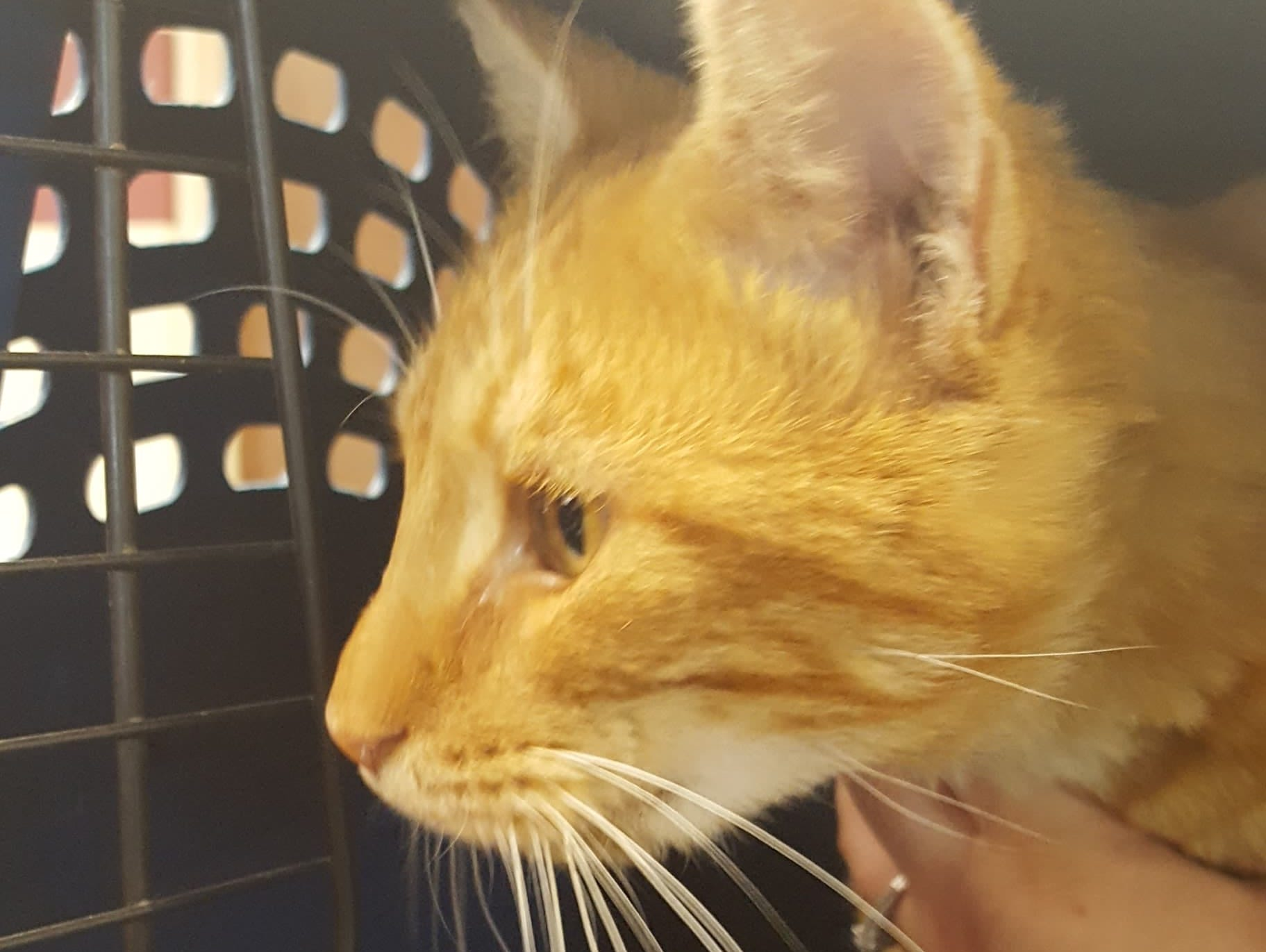 Bang, formerly known as Tang, was taken in by Rutherford County Cat Rescue. He sustained a gunshot to the leg, which was later amputated, and damage to his mouth, which left a gaping hole.
