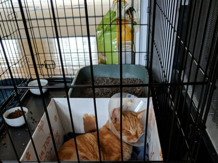 Bang recovers from an amputation he had to undergo after his leg was shattered by a gunshot. Rutherford County Cat Rescue is credited with saving his life.
