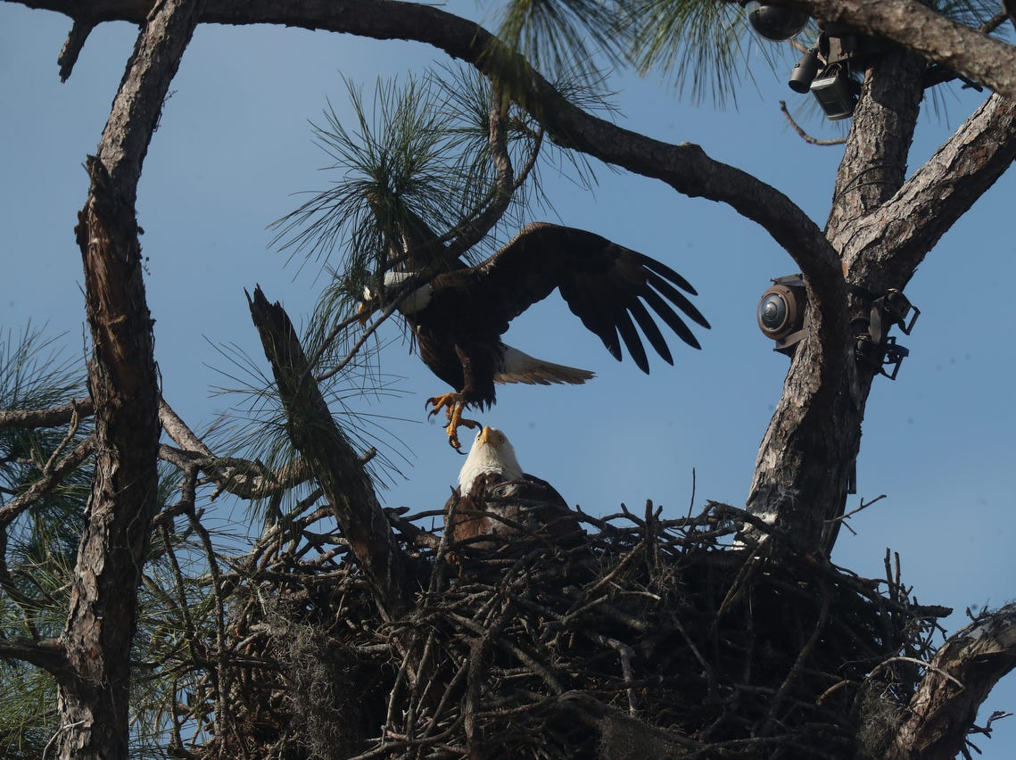 The baby bald eagles from the Southwest Florida Eagle Cam in North Fort Myers are about to turn a month old. They are becoming visible from ground now for a few moments if conditons are good.