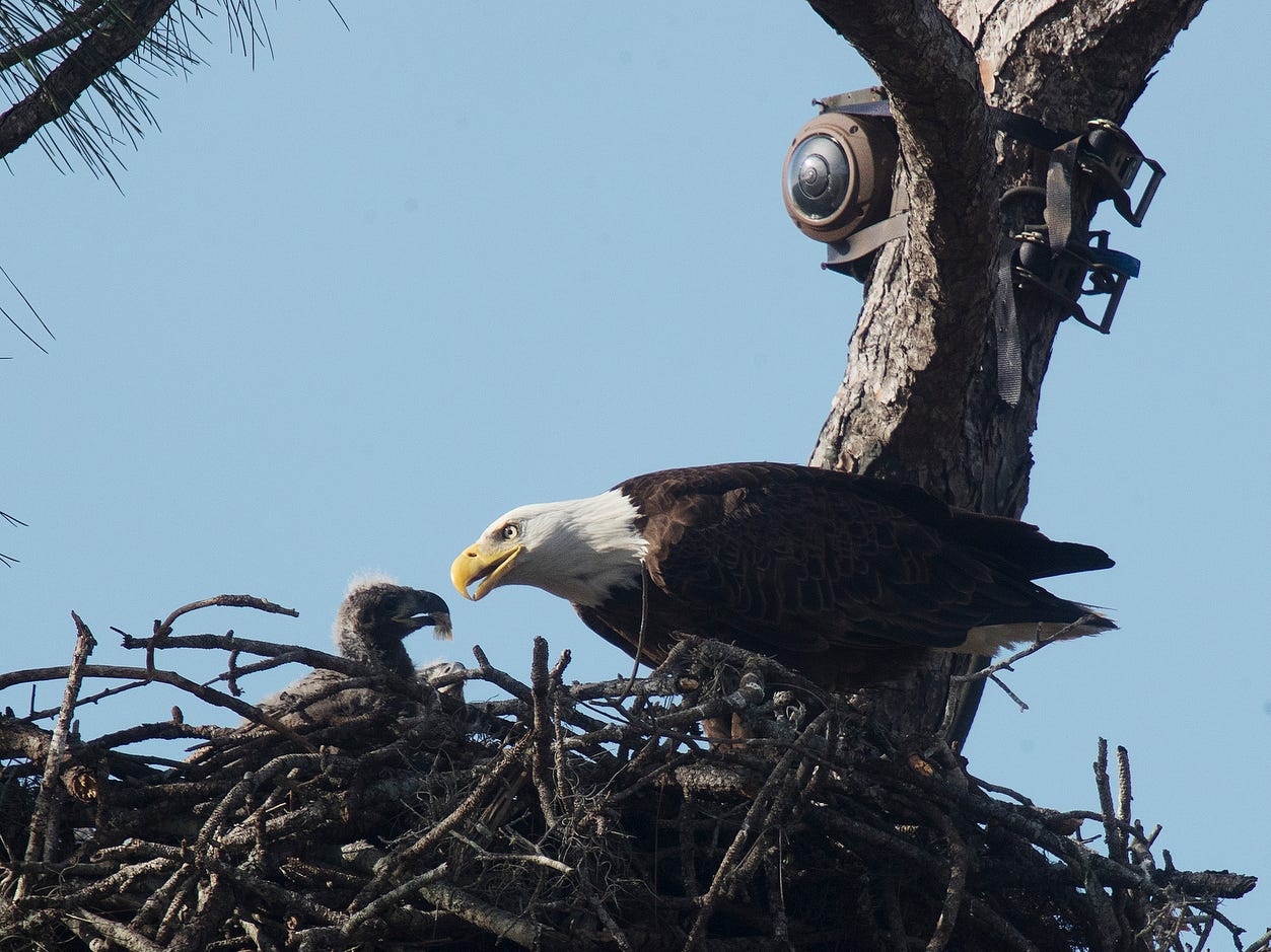 One of the eaglets from the famous Eagle Cam on Dick Pritchett Realty in North Fort Myers is fed on Wednesday 1/23/2019. The one month birthday of the eaglets is coming up in the next several days.