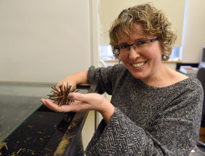 Laura Romano,  an associate professor in the biology department at Denison University, handles one of the pencil sea urchins she uses in her research. Romano studies the primitive type of urchin and the genes involved in their embryonic development that are in common with humans.
