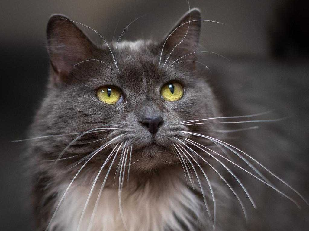 Nonny - Female (spayed) domestic long hair, about 4 years, 5 months. Intake date: 11-27-2018