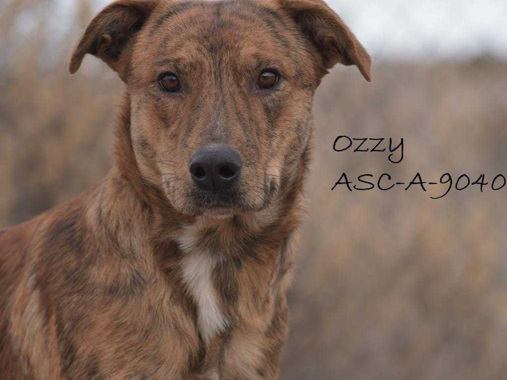 Ozzy - Male (neutered) heeler mix, about 2 years, 2 months. Intake date: 9-25-2018