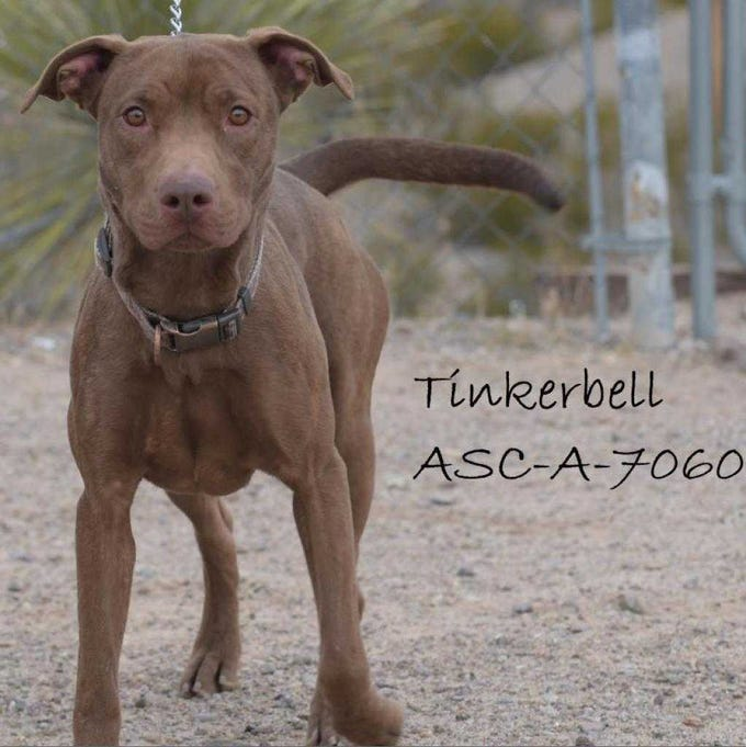 Tinkerbell - Female (spayed) pitbull, about 2 years. Intake date: 7-27-2018