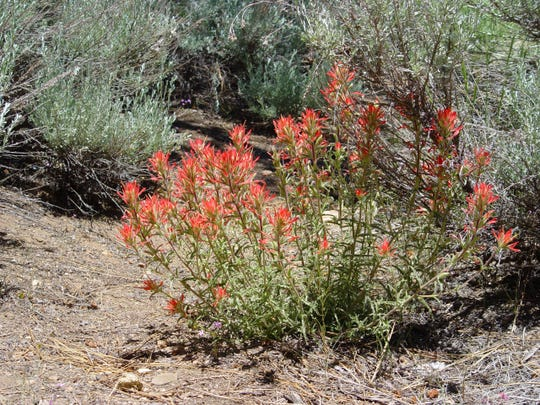 """A perennial subshrub, desert """"Indian"""" paintbrush is found in foothill canyons and alluvial fans."""