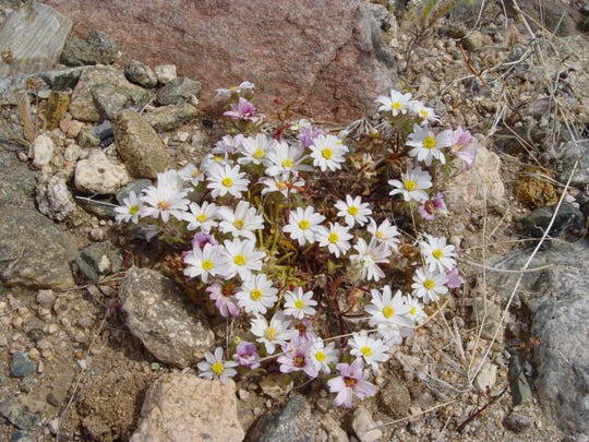 Very small desert star is delicate and cheerful amidst impossibly rugged ground.