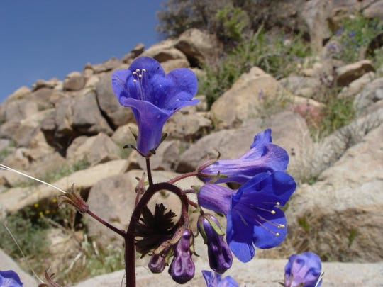 An intense blue flower makes Canterbury bells outstanding in the desert.